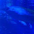 2.海:ジンベイザメ